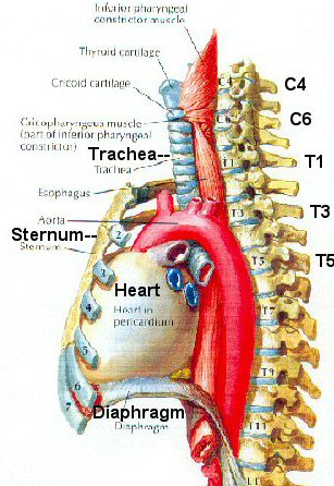 Kenneths blog trachea esophagus diagram oh okay ill put the diagram here but there is more info on ccuart Gallery